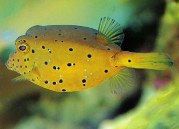 ミナミハコフグは、生魚で35cmくらいに育つのだそうです。鮮やかな黄色と黒い斑点が特徴。