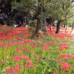約20万本の彼岸花が埋め尽くす七ツ森古墳群へ急げ(大分県)【車中泊女子の全国縦断記】 -