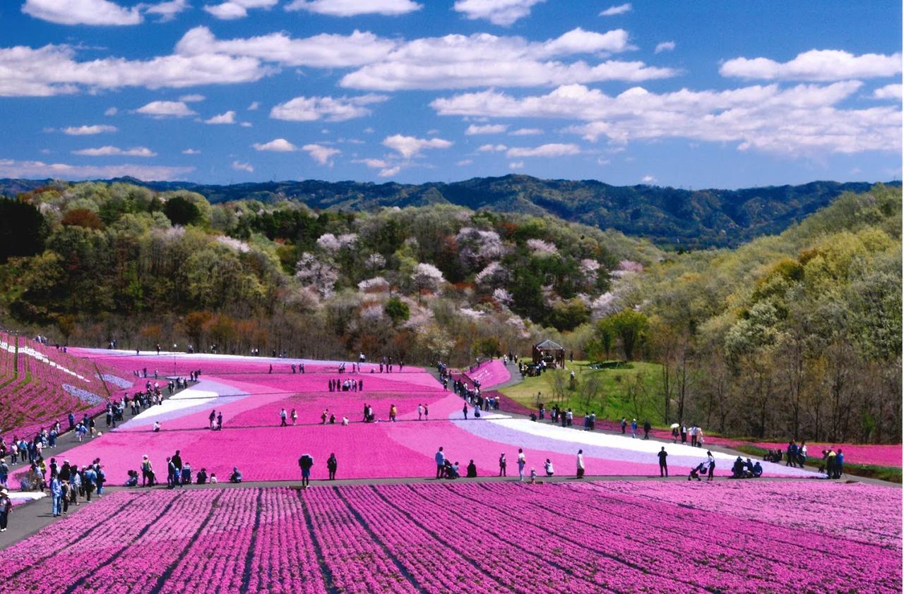 市貝 芝桜